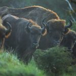 Grup de zimbri ©Staffan Widstrand