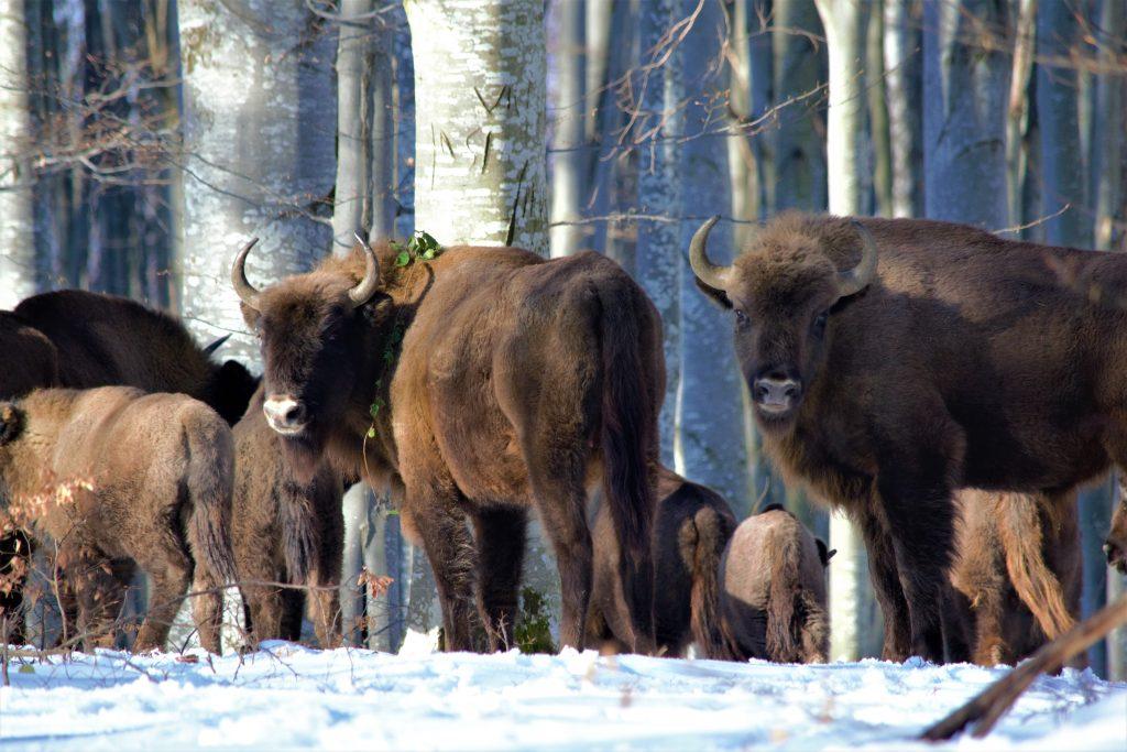 Zimbri pe timp de iarnă ©Florin Halastauan/WWF-România