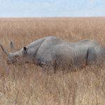 Black rhinoceros (Diceros bicornis) at the Ngorongoro Conservation Area in Tanzania, Africa
