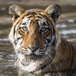 tigri wwf