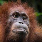 cimpanzeu wwf