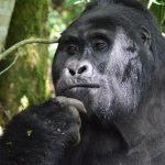 gorila wwf