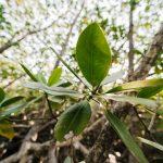 mangrove padure wwf