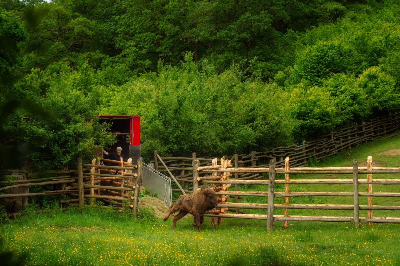 Transportul zimbrilor © Costas Dumitrescu