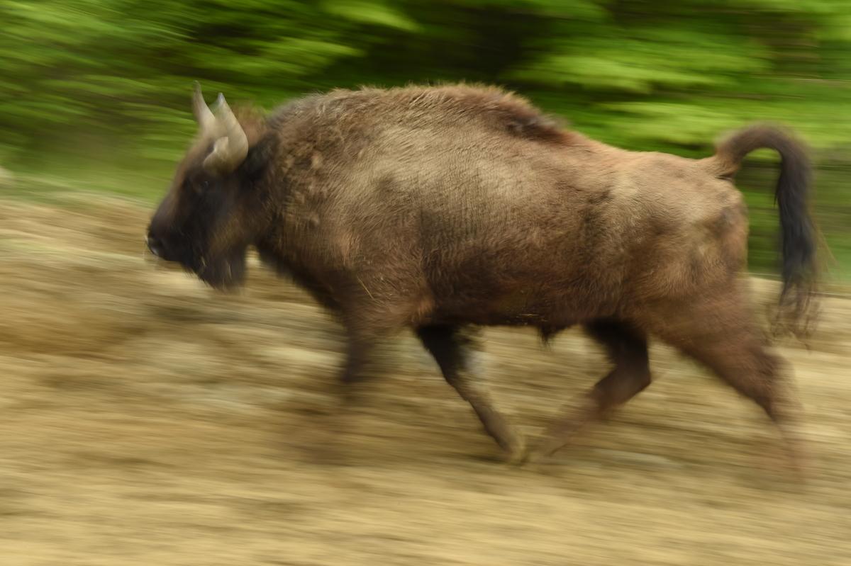 Zimbrii aleargă cu peste 60km/oră ©Staffan Widstrand
