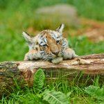 tigru siberian  wwf
