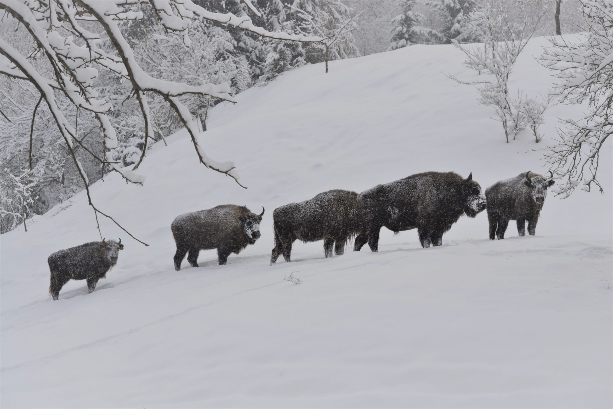 Grup de zimbri ©Florin Halastauan/WWF-România