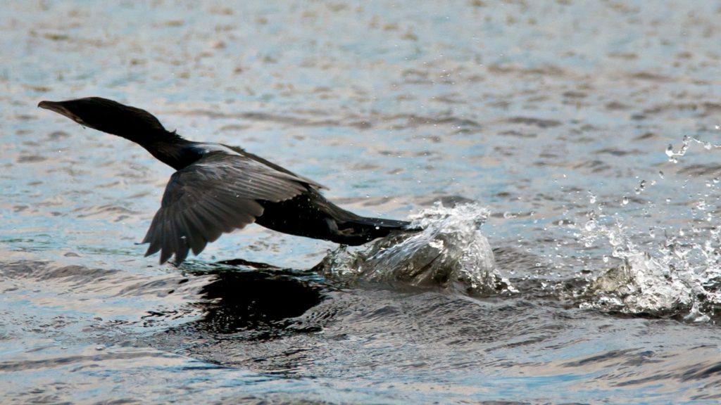 cormoran-mic-sebastian-bugariu