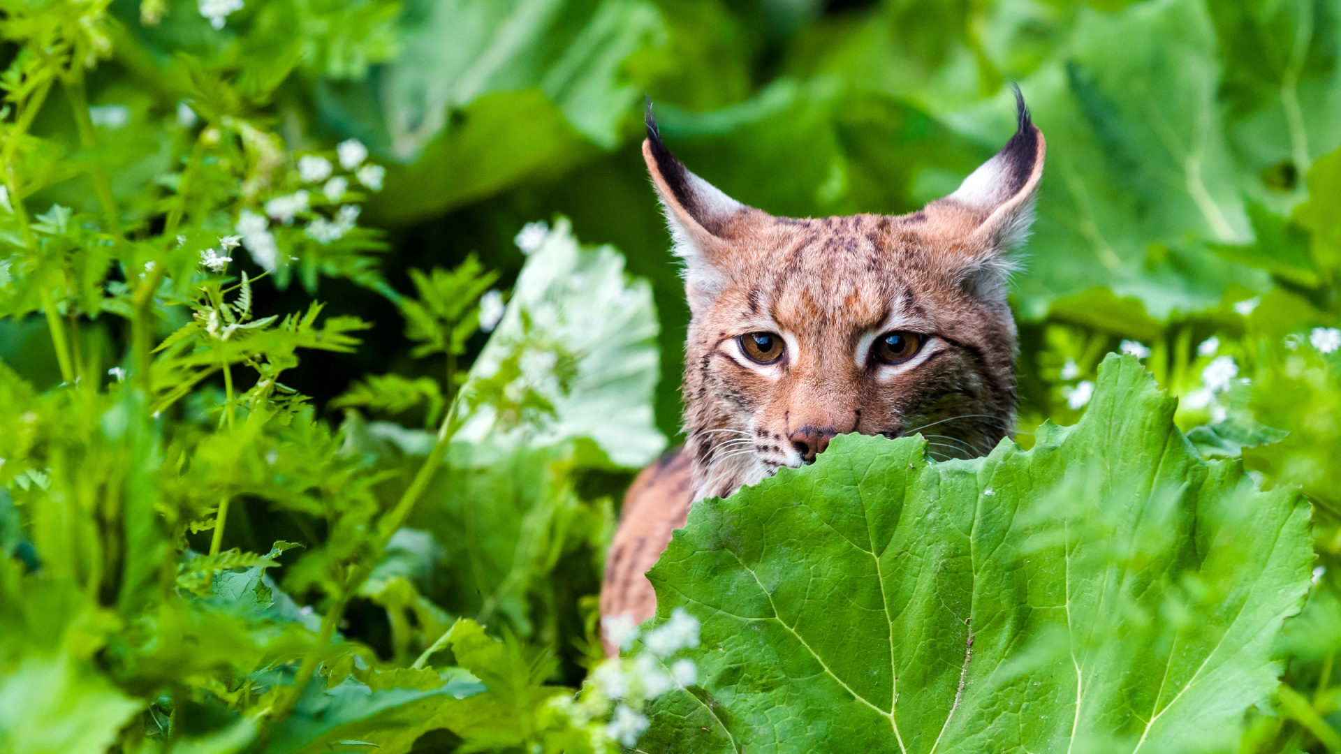 eurasian-lynx-grass-national-park-slovakia-tomas-hulik-wwf-1920x1080