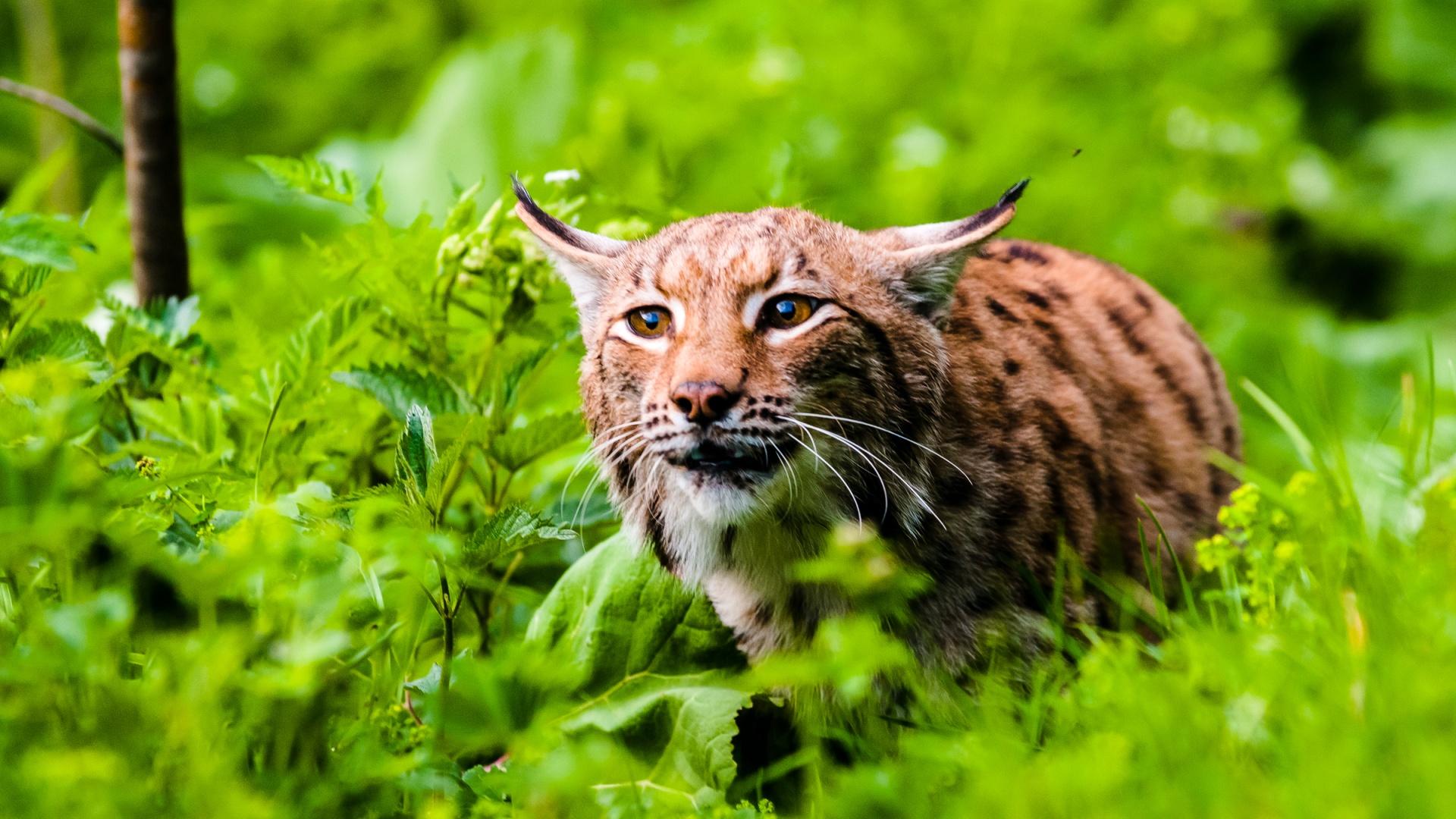 eurasian-lynx-ready-attack-national-park-slovakia-tomas-hulik-wwf-1920x1080
