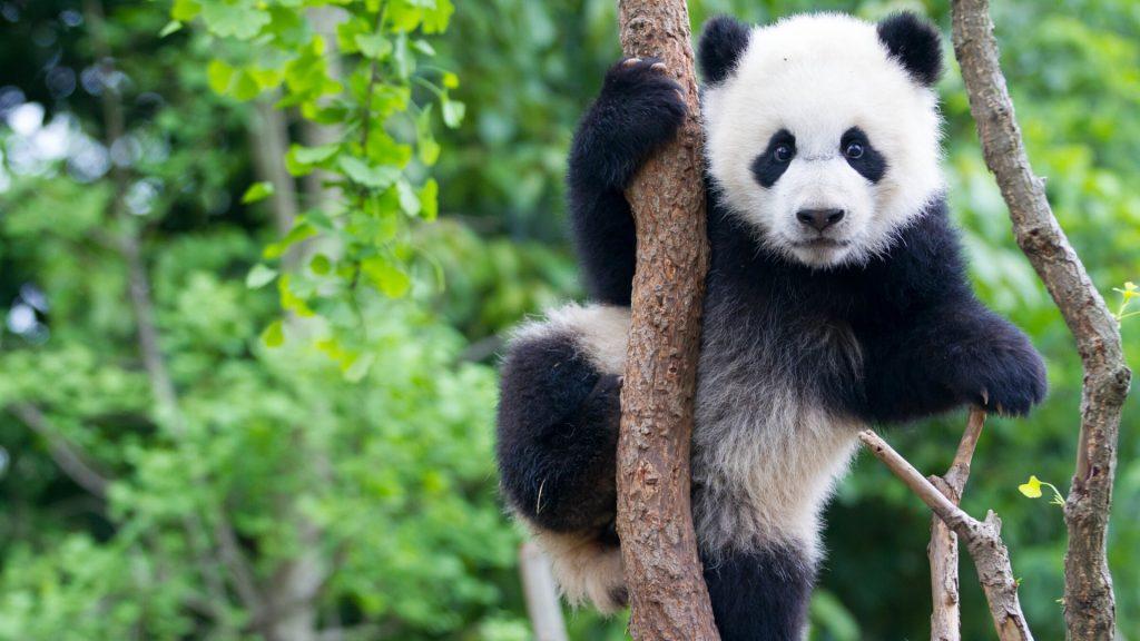 panda-in-tree-brad-josephs-1920x1080