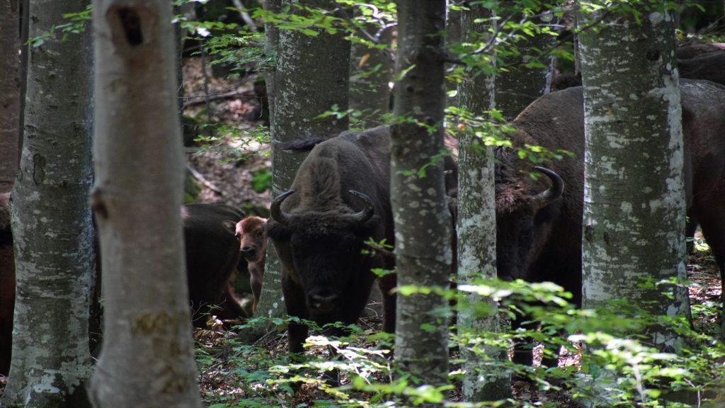 baby_bison_2018_tarcu_copyright_tristian_herbert__2_