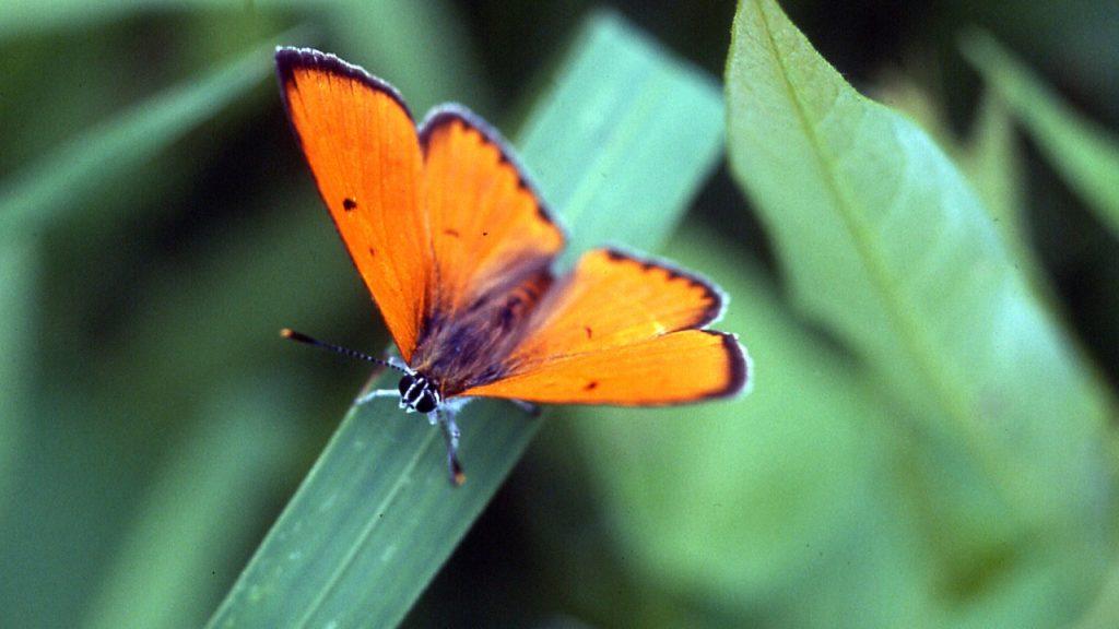fluturele_focului_lycaena_virgaurea__fundatia_adept