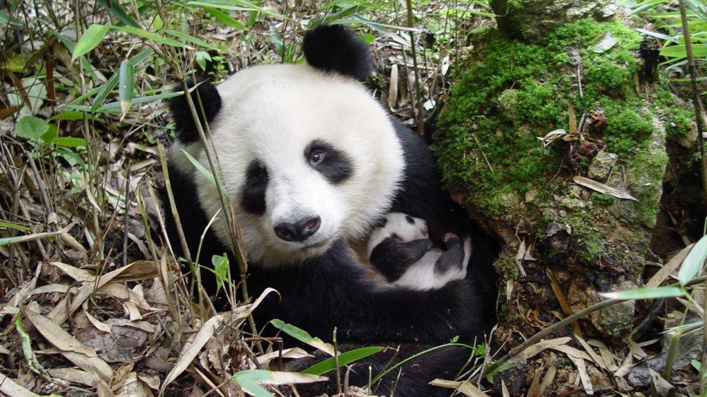 giant_panda_and_cub__shaanxi__wwf_china__yong_yange