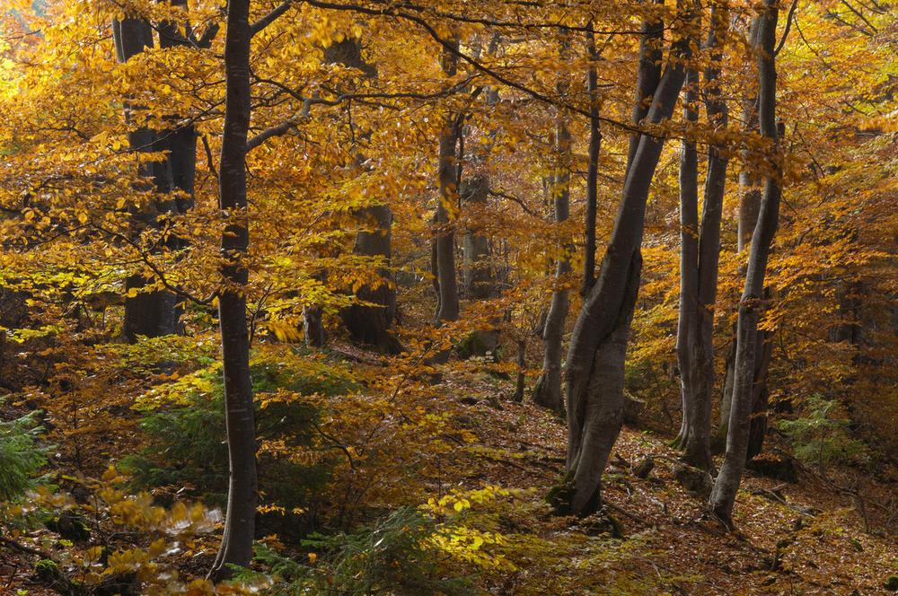 Beech forest, Piatra Craiului National Park, Romania