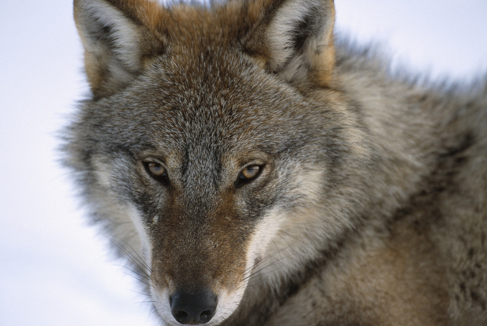 Wolf kept under controlled conditions, Russia