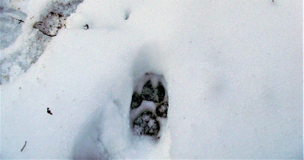 Wolf track Apuseni_credits Cristian Papp_WWF (2)
